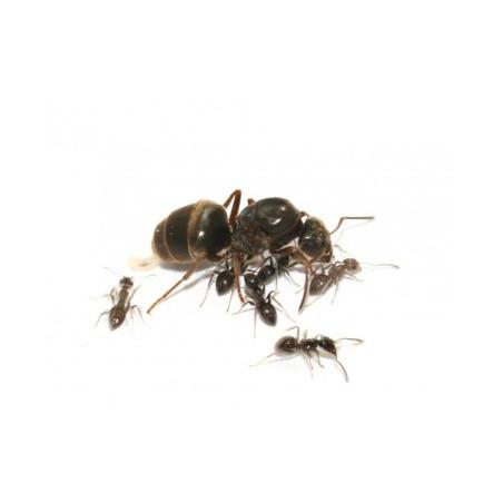 Reine Lasius niger avec ouvrières