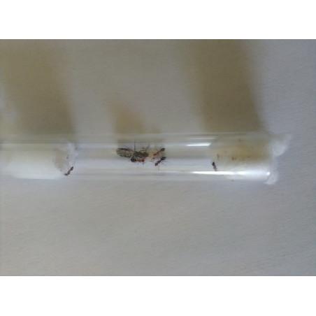 Camponotus lateralis avec ouvrières et couvain