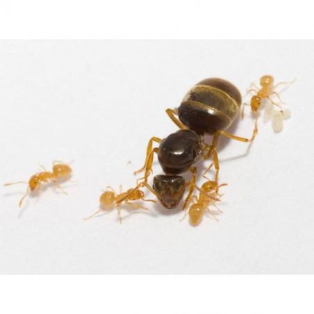 Reine fourmis Lasius flavus avec des ouvrières