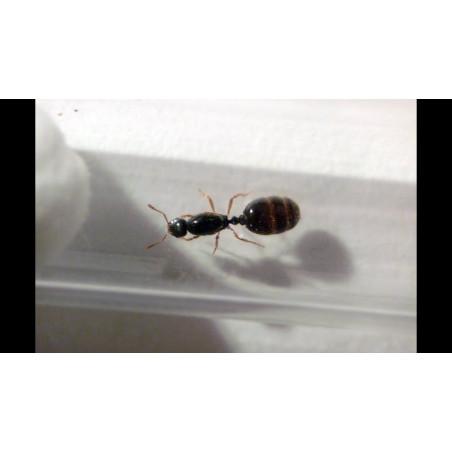 reine Solenopsis fugax en tube